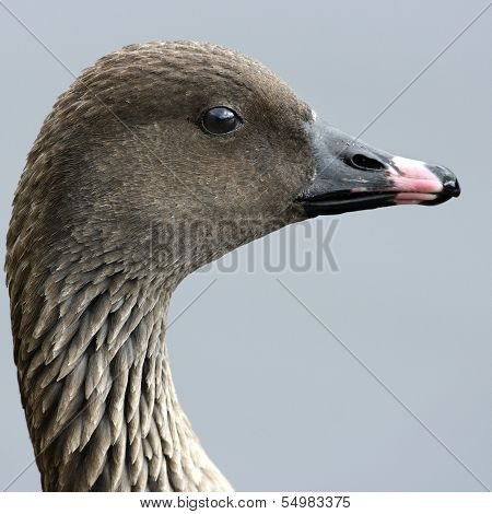 A portrait of a Pink-Footed Goose (Anser brachyrhynchus).