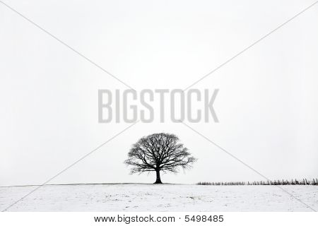 Oak Tree In Winter Snow Landscape