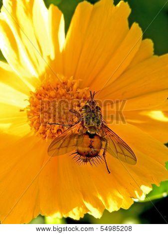Porcupine fly