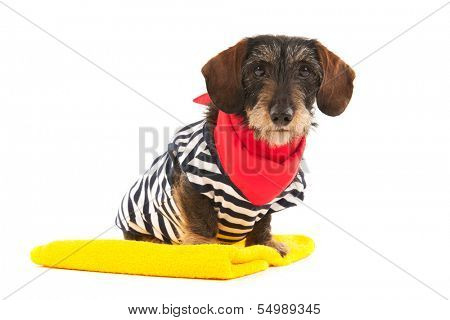Wire haired dachshund at the beach in swim suit