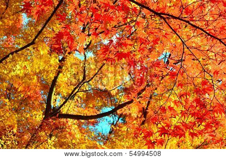 Red and Yellow Maple Trees Autumn