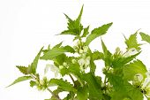 stock photo of nettle  - Closeup of stinging nettles over white background - JPG