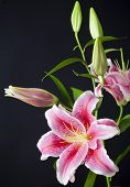 stock photo of stargazer-lilies  - Colorful pink lily with black background isolated - JPG