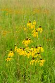 image of prairie coneflower  - group of yellow prairie cone flowers in green grass