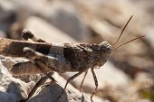 picture of exoskeleton  - Brown locust close up full body side view  - JPG