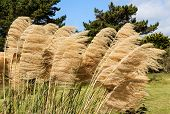 picture of pampas grass  - Pampas grass seed heads with the wind blowing through them - JPG