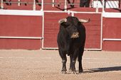 pic of bullfighting  - Capture of the figure of a brave bull in a bullfight - JPG