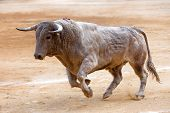 foto of bullfighting  - Bull color cinnamon galloping at a bullfight, Andalusia, Spain