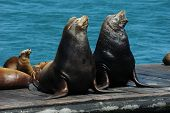 stock photo of sea lion  - a pair of wild california sea lions and their pups  - JPG