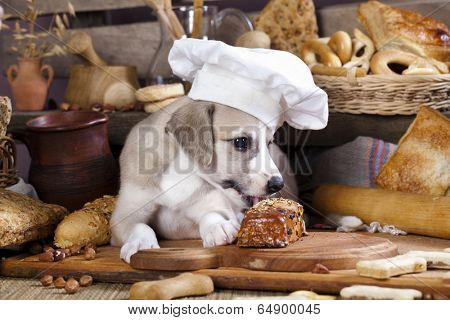 whippet puppy in chef's hat
