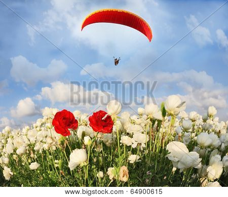 Field of white garden buttercups ranunculus asiaticus, among which grow two red buttercups. Big red parachute flies over the field