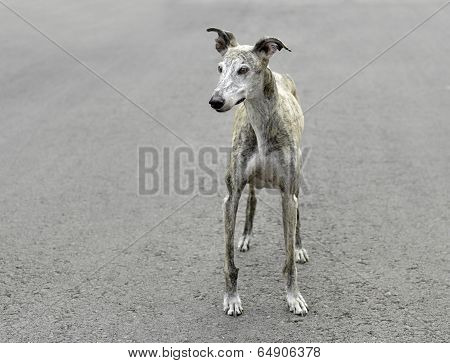 Female Spanish Galgo Dog