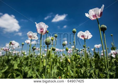 Blossoming poppies on a lovely sunny day