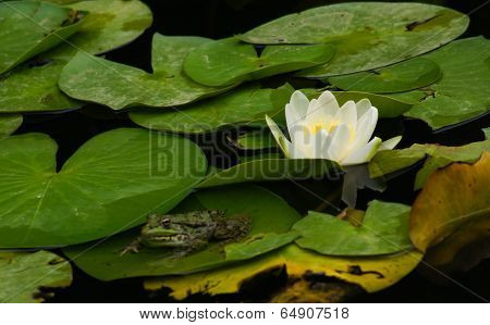 Green Frog On The Lotus Leave In The Lake
