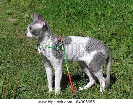 Cat Cornish Rex Walking Outdoors