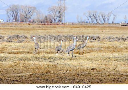 Sandhill Cranes On A Fallow Field