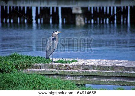 Pelican on a Dock