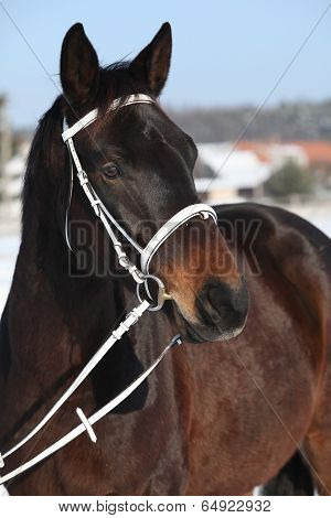 Beautiful Brown Warmblood With White Bridle In Winter