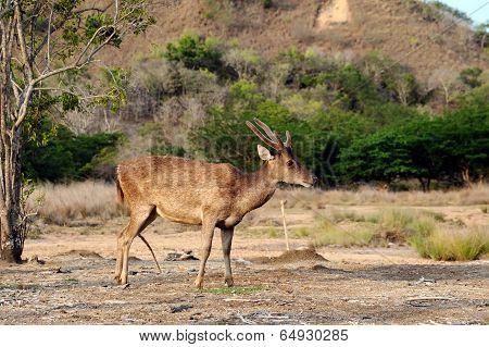 Alert Komodo Deer
