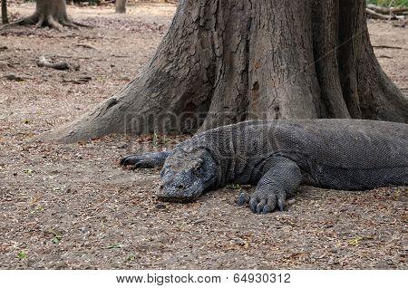 Resting Komodo Dragon