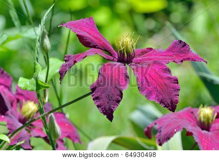 Deep Purple Clematis Flowers