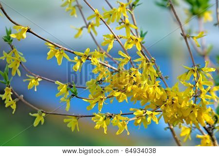 Forsythia Shrub Blooming In Springtime