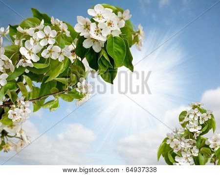 flowers of an Apple tree in the sky