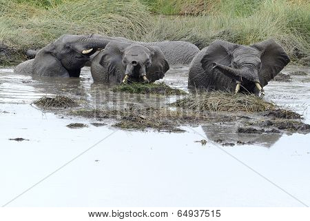Young elephants