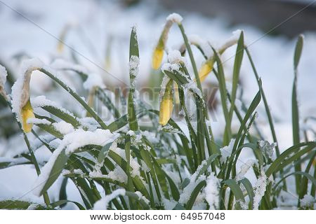 Flowers Under Sudden Snow