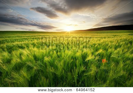 Meadow of wheat on sundown. Nature composition.