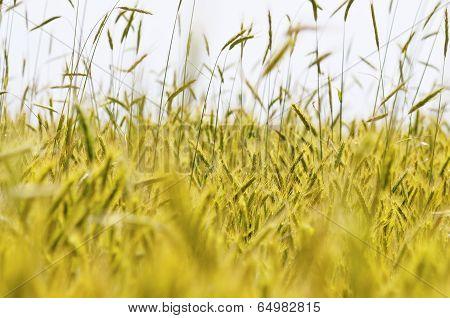 Green Wheat Detail