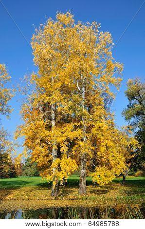 Two autumn aspen tree in the park. Alexandria Park, the city of Bila Tserkva, Kiev region, Ukraine.