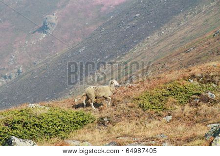 Lost sheep in the mountain