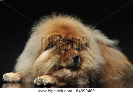Chow Chow looking down
