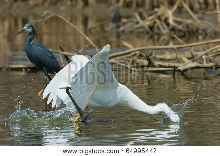 A White Western Reef Heron (egretta Gularis) Plunging Its Head Underwater To Catch A Fish