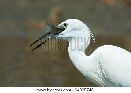 A White Western Reef Heron (egretta Gularis) With A Fish Sticking Out Of Its Mouth