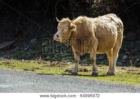 Tame Bull 1