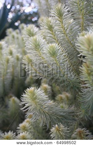 Feathery Soft Flannel Bush Phylica Plumosa