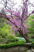 picture of judas tree  - Close up of violet blossoming Cercis siliquastrum plant at Caucasus area - JPG