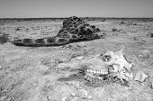 stock photo of desert animal  - In monochrome the skull of a giraffe and the carcass lying to the one side - JPG