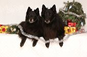 image of ten years old  - Two gorgeous black dogs ten years old bitch and six years old dog with christmas decorations - JPG