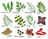 image of condiment  - Set of vector illustrations of herbs and spices with sprigs of fresh rosemary  rocket  parsley  bay leaves  dill  oregano  sage  basil  root ginger  black peppercorns  anise and red hot chillies - JPG