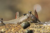 picture of amphibious  - Rockskipper fish  - JPG