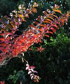 image of crepe myrtle  - Red autumn fall leaves of a young Crepe Myrtle Lagerstroemia indica tree against green shrubs and trees for Arbor Day greeting gard or wallpaper - JPG