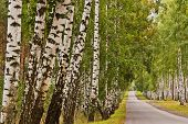 foto of birchwood  - straight road through the trees in a birchwood - JPG