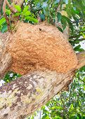 pic of pain-tree  - Big wasp nest on a mango tree - JPG