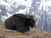 stock photo of yaks  - yak lying on the ground on a background of mountains - JPG