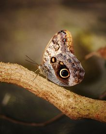 image of hughes  - Close up of beautiful Owl butterfly with Hugh eyespots
