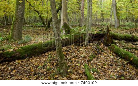 Atumnal Landscape Of Deciduous Stand