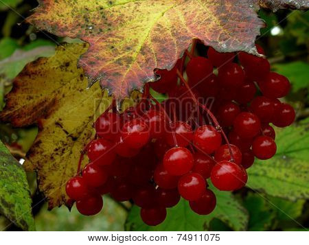 cluster of red viburnum among autumnal leaves